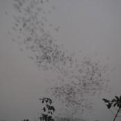 über 3 Millionen Fledermäuse Fliegen Aus