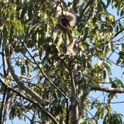 Ein Weisser Gibbon