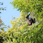 Ein Schwarzer Gibbon