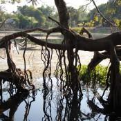 Unterm Banyanbaum