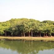 Riesiger Banyanbaum