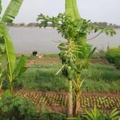 Taman sayur-sayuran & Papayabaum