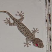 Haiwan kesayangan kita - A Gecko Giant