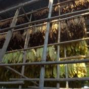 Zum Trocknen Aufgehängte Tabakblätter