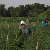 Arbeiter Im Chili Feld