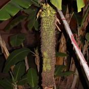Eine Sehr Lange Bananenstaude