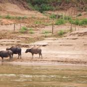 Büffel – Einer Im Wasser