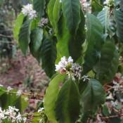 Kaffee Blüte
