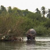 Wasserbüffel Im Mekong