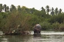 Wasserbüffel im Mekong (Kajaktour auf dem Mekong)