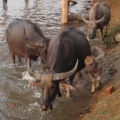 Wasserbüffel Vor Unserem Bungalow
