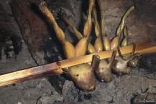 frisch gegrillte Frösche (Dschungel-Tour: von Ameisen, Fröschen, Kröten, Ratten und Spinnen)