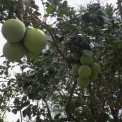 Pomelo Baum