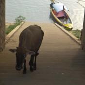 Auf Dem Weg Zum Delfin Boot Kommt Uns Eine Kuh Entgegen