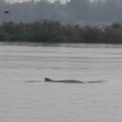 Irrawaddy Delfin Im Mekong