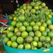 Die Orangen Sind Hier Grün Und Schmecken Sehr Lecker