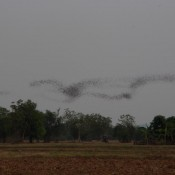 Fledermaus Schwärme