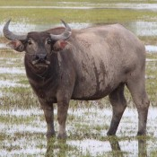 Ein Prächtiger Wasserbüffel
