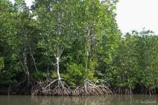 durch die Mangroven zurück zum Fishing Village (Koh Thmei – Ein Inseltraum)