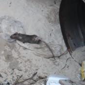 Ratte Am Strand