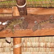 Gecko Familie In Unserem Bungalow