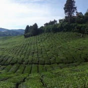 In Den Teeplantagen