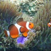 Clown Fische