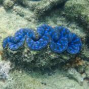 Eine Schöne Blaue Muschel