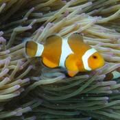 Und Noch Ein Paar Clown Fische
