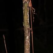 Ein Gut Getarnter Dschungel Gecko