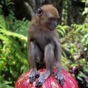 Ein Schüchterner Affe Bei Den Batu Caves