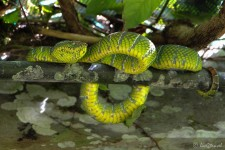 eine schöne Schlange (Der Mulu Nationalpark)
