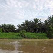 Für Palmöl Plantagen Wird Der Dschungel Vernichtet