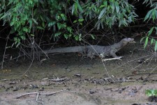 ein Bindenwaran am Flussufer (Am Dschungelfluss Kinabatangan)