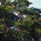 Ein Baum Voller Nasenaffen