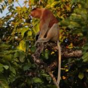 monos proboscis machos