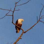 Ein Greifvogel (brahminenweih) Hoch Im Baum