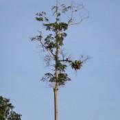 aves rapaces (brahminenweih) Oben Im Baum