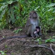 Langschwanzmakaken – Mutter Mit Kind