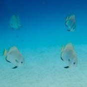 Fledermausfische Schwimmen Im Viereck