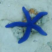 Blauer Seestern