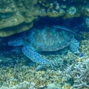 Eine Meeresschildkröte Versteckt Sich Unter Den Korallen