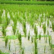 Reisfelder Um Ubud
