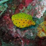 Ein Kleiner Gelber Kofferfisch