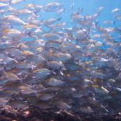 Ein Fischschwarm
