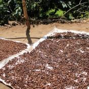 Kaffeebohnen Trocknen In Der Sonne