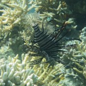 Feuerfisch (mientras buceaba)