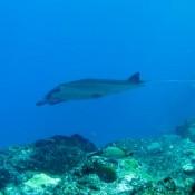 Manta ray (bild Von Marko)