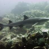 Tiburón de arrecife de punta blanca (bild Von Rune)