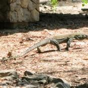 Ein Kleiner Komodowaran